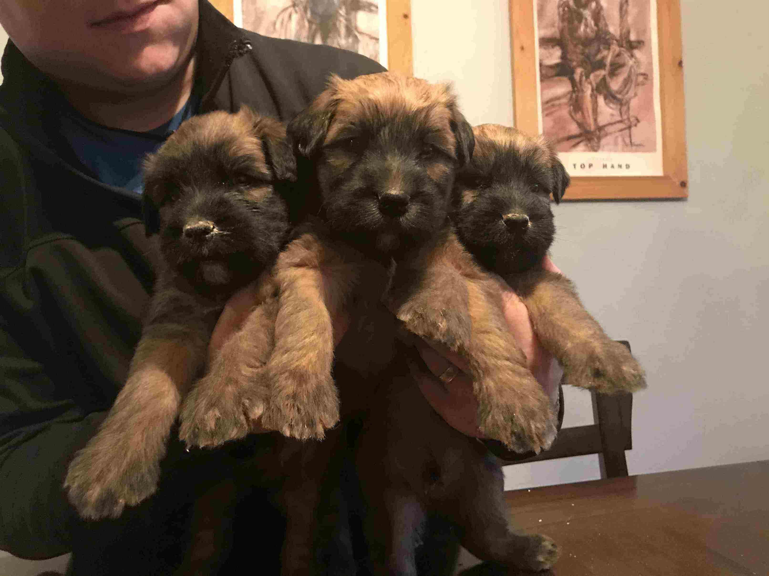 Wheaten Puppies For Christmas!!
