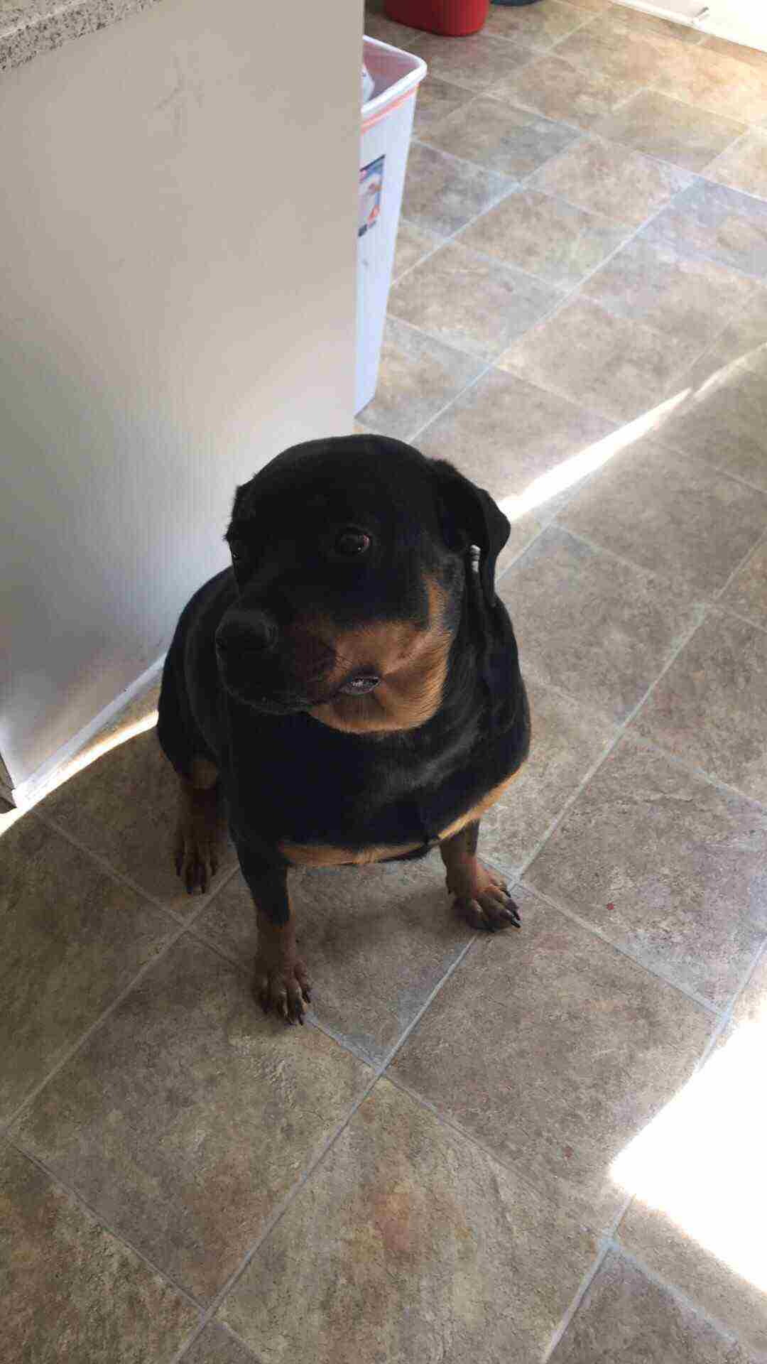 1 Yr Old Rottie Pure