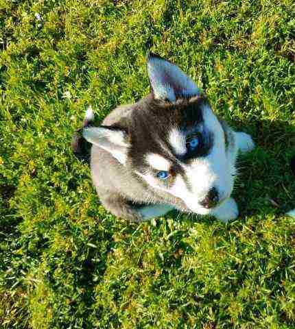 CKC Siberian Husky Pups