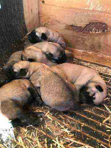 Anatolian Shepherd Puppies For Sale