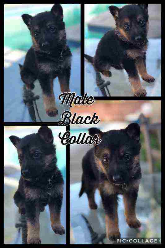 11-7 WEEK OLDCuTe AKC GeRmAn ShEpHeRd PuPpiEs-GOOD W/KIDS N OTHER PETS