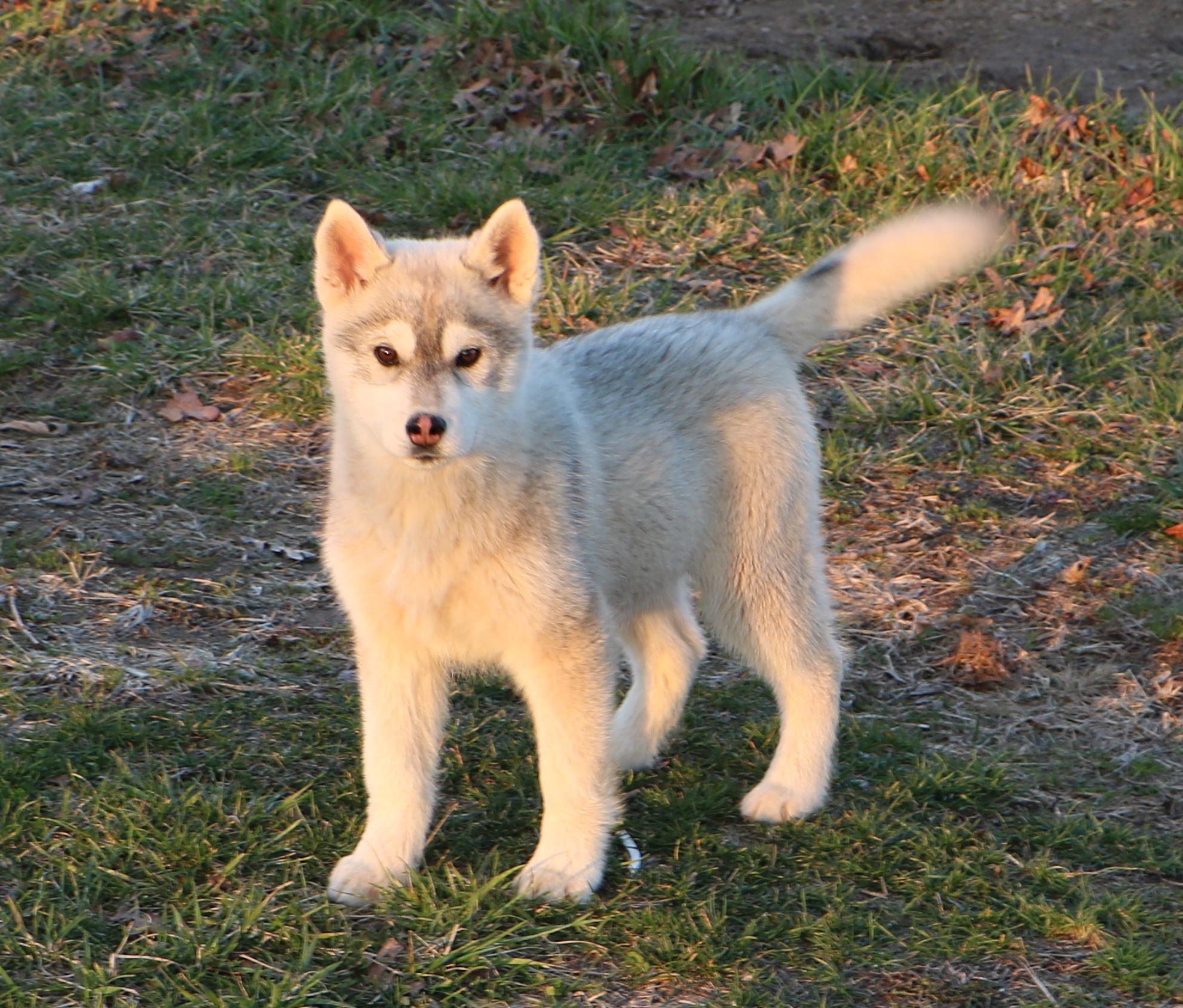 2 Siberian Huskies