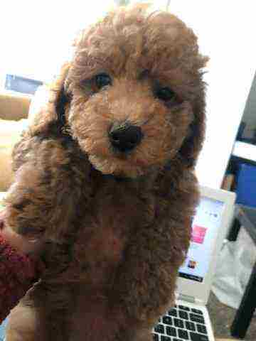 Puppy Poodle For Sale