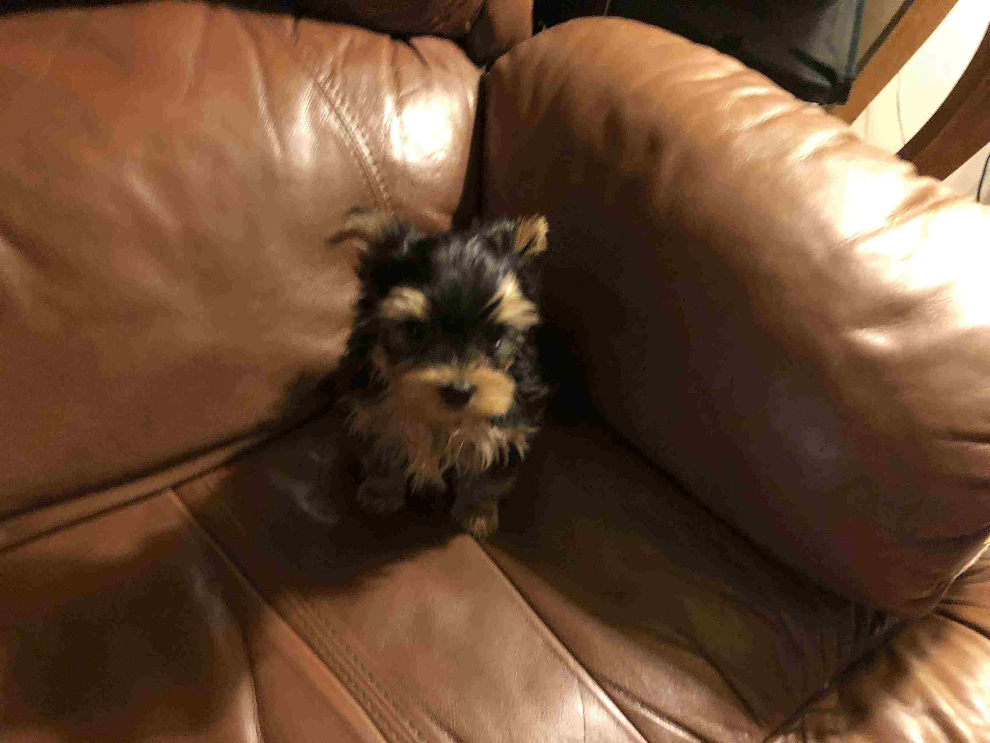 Tiny AKC Yorkies