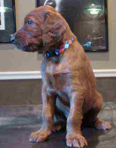 AKC Irish Setter Male Puppies
