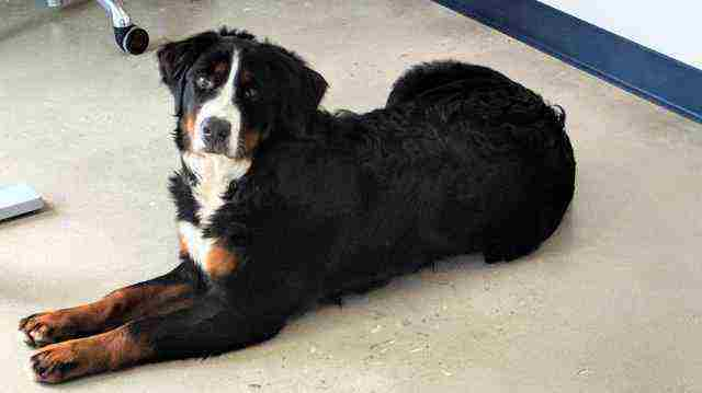 Bernese Mountain Dog - 6 Mo Old