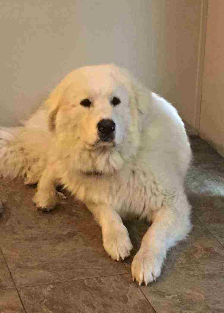 Great Pyrenees-Newfoundland Mix