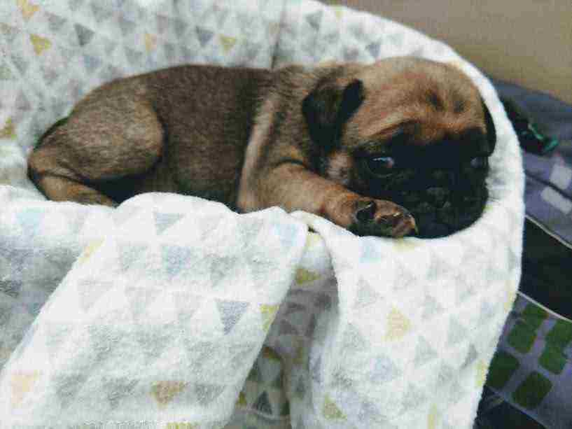 Sweet Pug Puppies