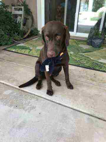 Lovable AKC Purebred Chocolate Lab