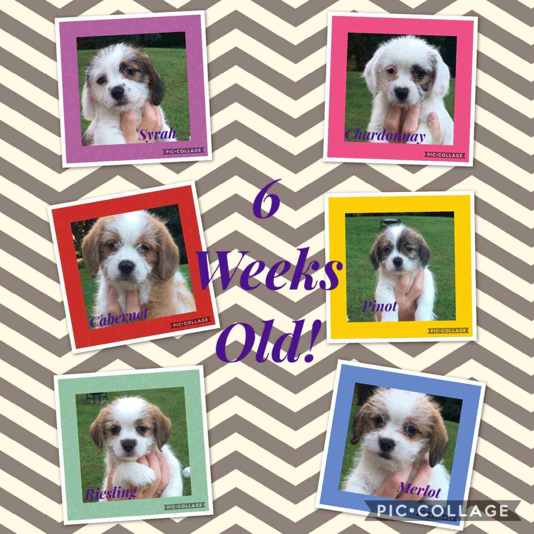 Havabea Puppies