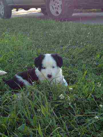 Border Collie Puppies For Sale In KY