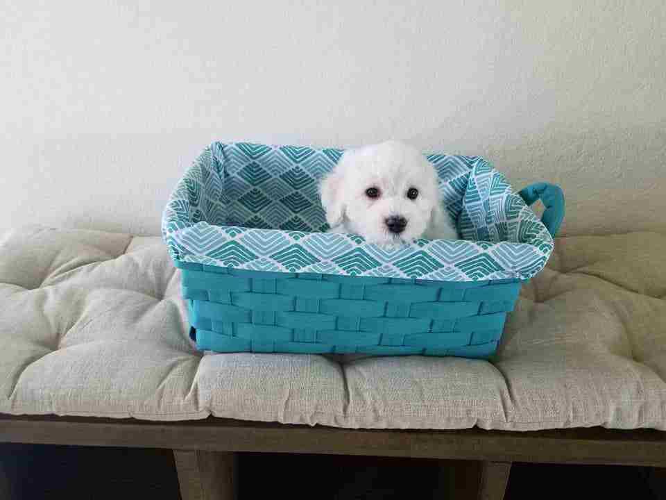 Adorable CKC Bichon Frise Puppy