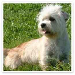 Dandi Dinmont Terrier