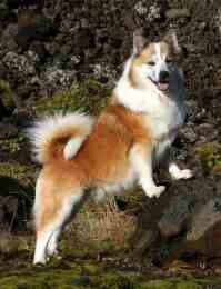 Iceland Sheepdog