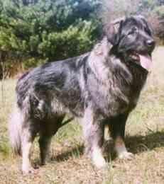Illyrian Sheepdog - Sarplaninac