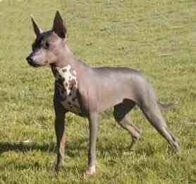 hairless dog for sale