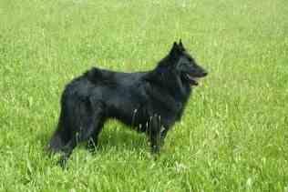 Belgian Sheepdog - Groenendael