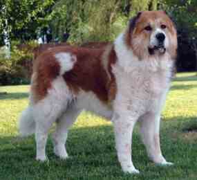 Caucasian Mountain Dog