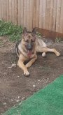 11 PURE BREED GERMAN SHEPHERDS 4 SALE