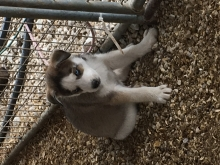 Husky Pups For Sale