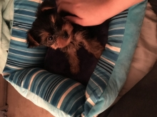 Baby Yorkie For Sale