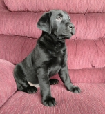 Labrador Retriever AKC
